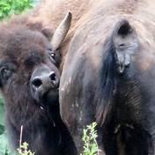 BuffaloButt